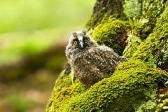 Lång gå i ax Owl royaltyfri bild