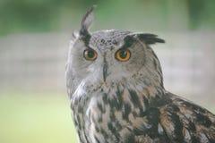 Lång-gå i ax Owl Arkivfoton