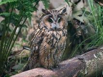 Lång-gå i ax Owl Arkivbild