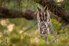 Lång-gå i ax Owl Asio otus arkivfoto