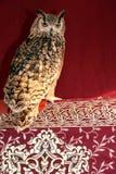 Lång-Gå i ax Owl på rött Royaltyfri Foto