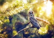 Lång gå i ax uggla i skogen Fotografering för Bildbyråer