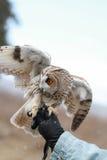 Lång-gå i ax uggla som framförs i fältet för att flyga och jaga in tam Royaltyfri Foto