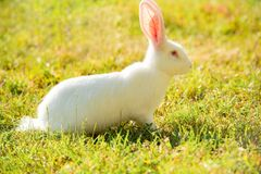 Lång-gå i ax vit kanin på grönt gräs i sommardag arkivbild