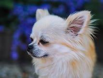 Lång hårchihuahuahund som sitter i trädgården arkivfoton