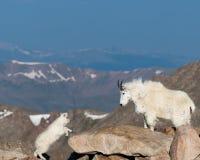 Lång horn- fårmamma och kalv arkivbild