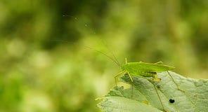 Lång-horned gräshoppa Royaltyfri Foto