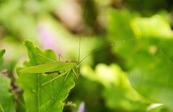 Lång-horned gräshoppa Royaltyfria Bilder