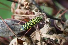 Lång Horned gräshoppaborr Fotografering för Bildbyråer