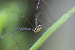 Lång lagd benen på ryggen spindel Royaltyfri Bild