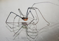 Lång lagd benen på ryggen spindel royaltyfri foto