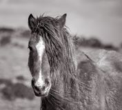 Lång Maned lös ponny, Bodmin hed, Cornwall arkivfoton