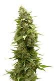 Lång marijuanaknopp överst av cannabisväxten vid vit bakgrund Arkivfoto