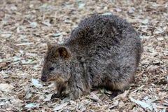 Lång-nosed Potoroo, känguruö Australien Arkivfoto