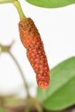 Lång peppar eller pipblåsarelongum på träd Royaltyfri Fotografi