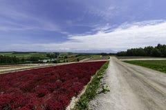 Lång röd rad av blommafältet längs vägen med molnet och blå himmel royaltyfria bilder