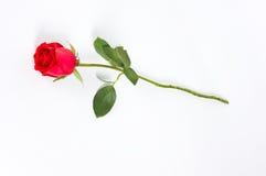 lång rose stemwhite Arkivfoto