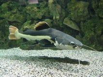 lång skäggfisk Arkivbild
