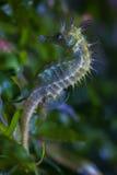 Lång-snouted seahorse & x28; Hippocampusguttulatus& x29; Arkivfoton