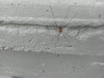 lång spindel för pappaben Arkivbilder