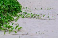 Lång stjälk på stranden Royaltyfri Fotografi