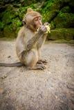 Lång-tailed behandla som ett barn macaqueMacacafascicularis i den Ubud apan Forest Temple som äter en majskolvhavre genom att anv Arkivbilder