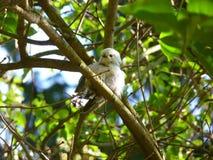 Lång-tailed bushtitsammanträde på en filial Royaltyfria Foton