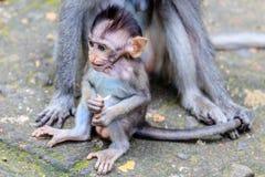Lång-tailed eller Krabba-äta macaquen behandla som ett barn, den fulla längden, Bali, Indonesien Royaltyfri Foto