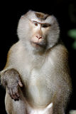 Lång-tailed för Krabba-äta för macaque fascicularis för Macaca macaque Arkivbild