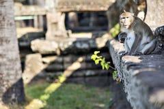 Lång-tailed kvinnligt apasammanträde för macaquen på forntida fördärvar av Arkivfoto