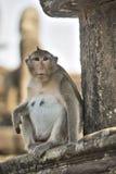Lång-tailed kvinnligt apasammanträde för macaquen på forntida fördärvar av Arkivbild