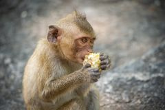 Lång-tailed macaque, i Thailand, Saraburi en djurlivfristad, Arkivfoto