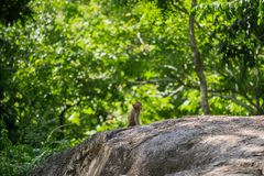 Lång-tailed macaque, i Thailand, Saraburi en djurlivfristad, Arkivbilder