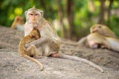 Lång-tailed macaque, i Thailand, Saraburi en djurlivfristad, Arkivbild