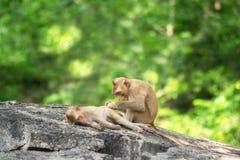 Lång-tailed macaque, i Thailand, Saraburi en djurlivfristad, Royaltyfri Foto