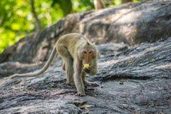 Lång-tailed macaque, i Thailand, Saraburi en djurlivfristad, Royaltyfria Foton