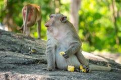 Lång-tailed macaque, i Thailand, Saraburi en djurlivfristad, Royaltyfri Fotografi
