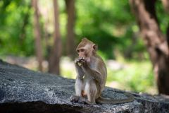 Lång-tailed macaque, i Thailand, Saraburi en djurlivfristad, Royaltyfri Bild