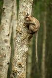 Lång-tailed macaque i träd med att dingla för svans arkivfoton