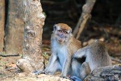 Lång tailed Macaque som ansas arkivfoton