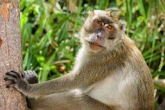 Lång-tailed macaque som stirrar på mig Royaltyfria Foton