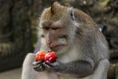 Lång-tailed macaqueapa som äter en röd frukt Royaltyfria Bilder