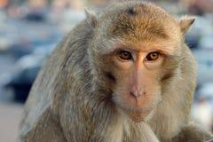 Lång-tailed macaqueapa (som Krabba-äter macaquen) i Lopburi prov Royaltyfria Foton
