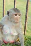 Lång-tailed macaqueapa (som Krabba-äter macaquen) i Lopburi prov Royaltyfri Foto