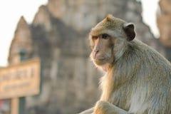 Lång-tailed macaqueapa (som Krabba-äter macaquen) i Lopburi prov Arkivbilder
