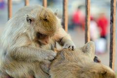 Lång-tailed macaqueapa (som Krabba-äter macaquen) i Lopburi prov Royaltyfri Bild
