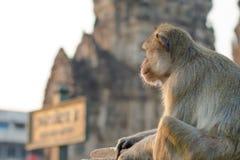 Lång-tailed macaqueapa (som Krabba-äter macaquen) i Lopburi prov Arkivfoton