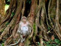 Lång-tailed macaquesammanträde på trädet Angkor Wat Cambodia fotografering för bildbyråer