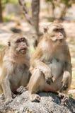 Lång-tailed Macaquesammanträde på vagga Royaltyfria Bilder