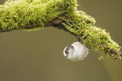 Lång Tailed mes (den Aegithalos caudatusen) som hänger från en journal fotografering för bildbyråer